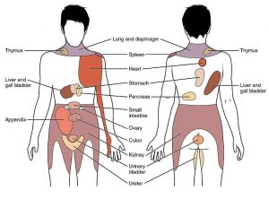 Diagram showing areas of the body that correspond to pain associated with a certain organ.